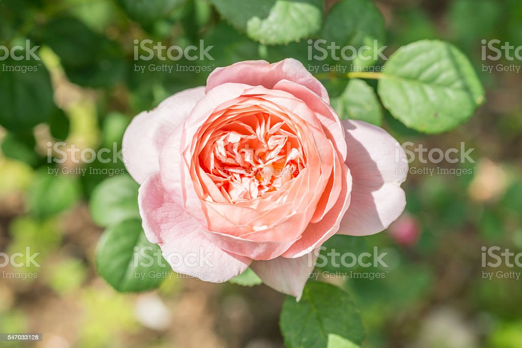 Closeup of red rose flower in a garden stock photo