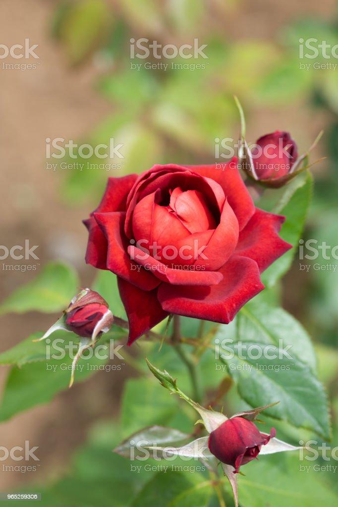 close-up of red rose flower zbiór zdjęć royalty-free