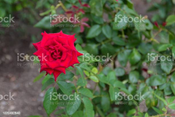 Closeup of red roses flower blossoming in the garden picture id1020492840?b=1&k=6&m=1020492840&s=612x612&h=hl1bs7wnllovqydoonwy3fyexcuo57mtnlqz2bopmm0=
