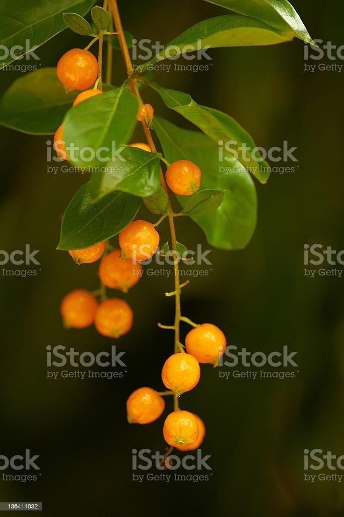 Closeup of red tropical berries - twig macro stock photo