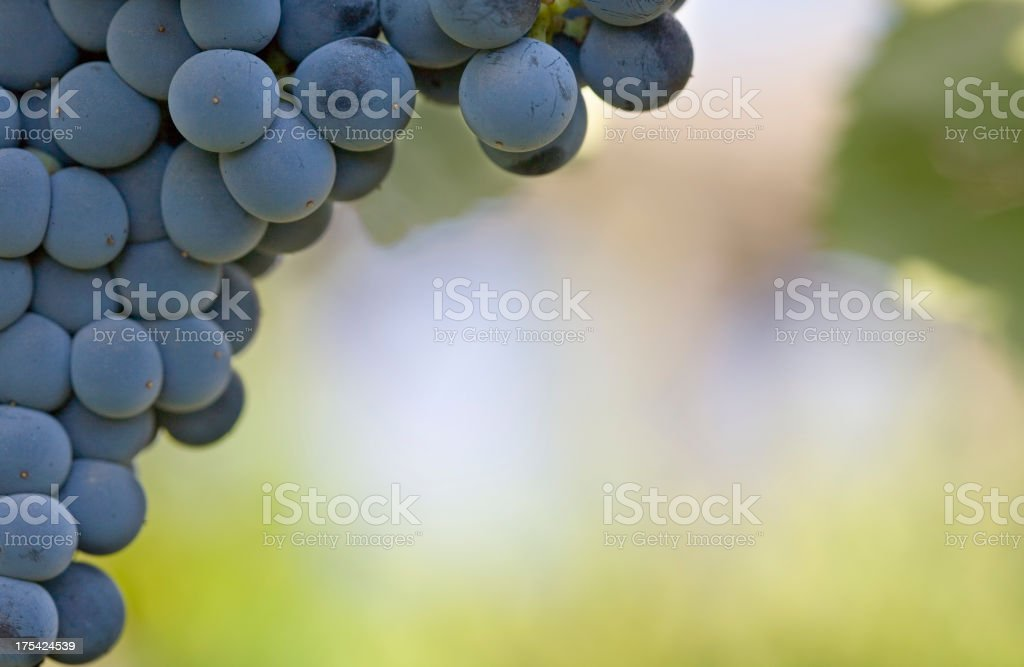 Closeup of Red Wine Grapes royalty-free stock photo