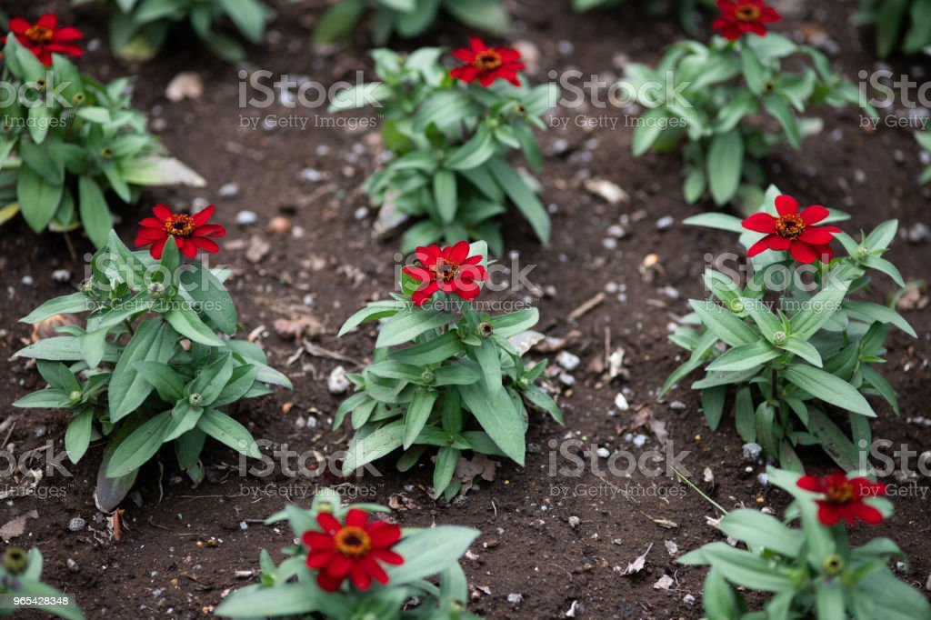 close-up of red zinnia flower royalty-free stock photo