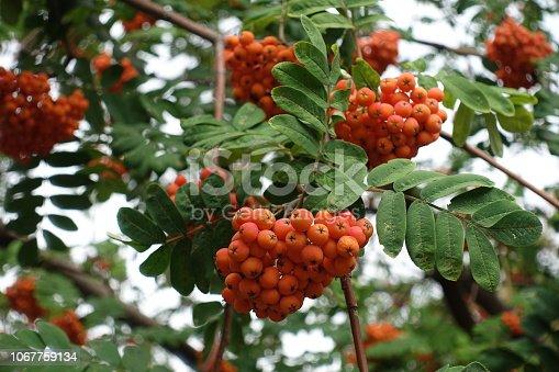 istock Closeup of reddish orange berries of rowan 1067759134