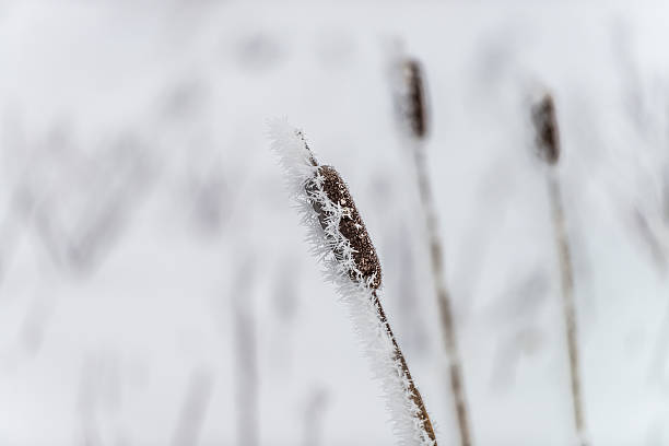 close-up of reed covered with snow background stock photo