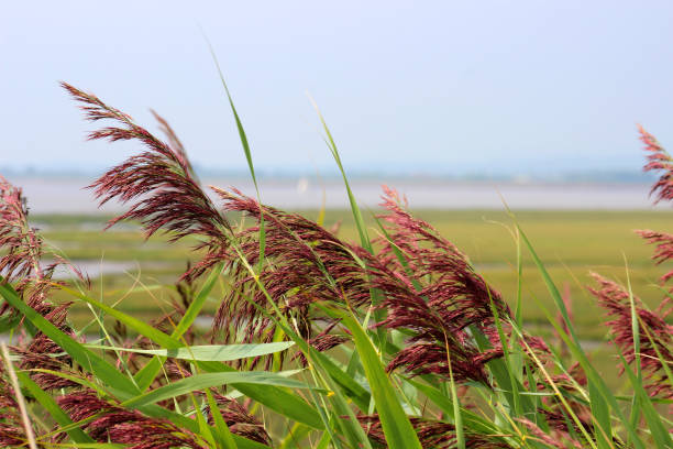 Close-up of reed grass heads, Newport Wetlands Reserve, Gwent Levels, Wales stock photo