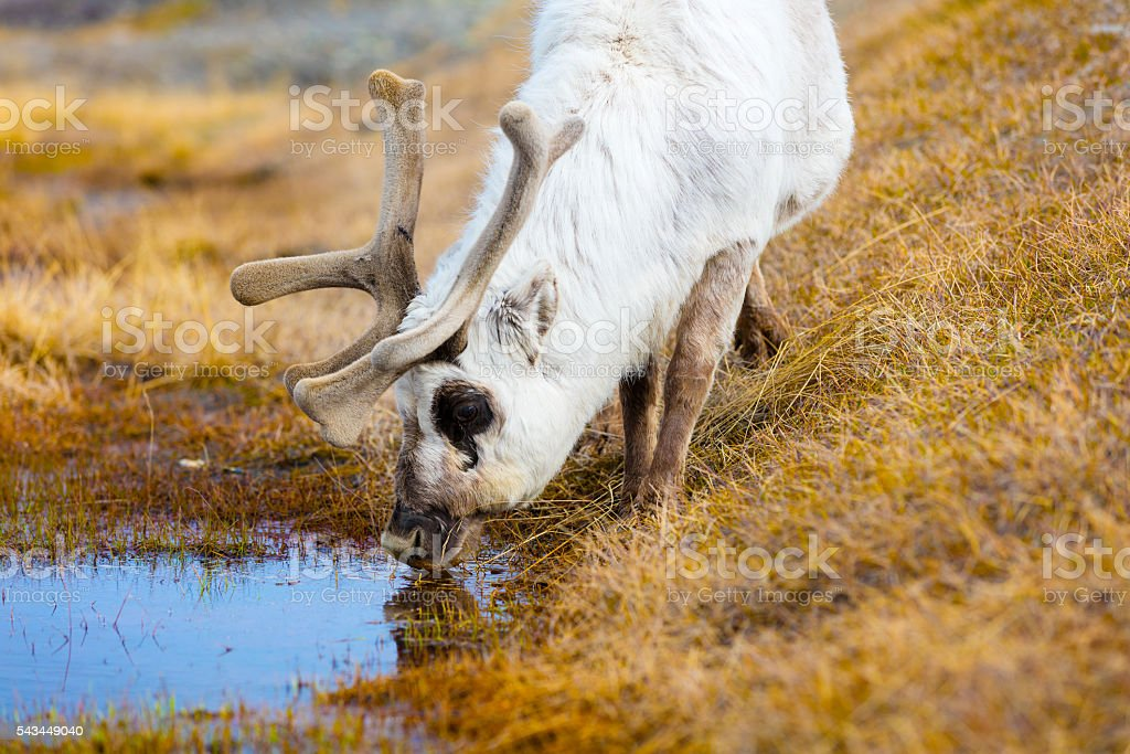Close-up of reindeer drinking water in the arctic nature stock photo