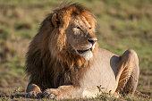 Close-up of a resting wild male African lion (Panthera leo).\n \nTaken on the Serengeti Plains, Masai Mara National Reserve, Kenya, Africa
