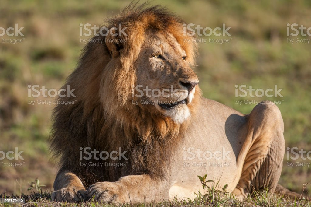 Close-up of Resting Wild Male African Lion stock photo