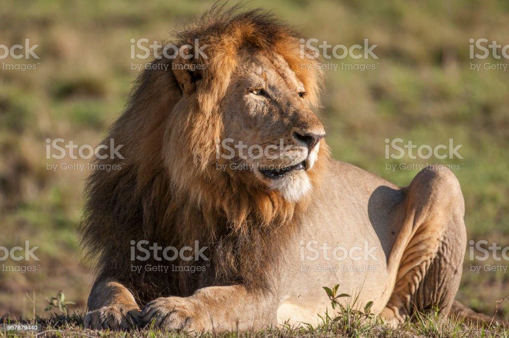 Primer plano de descanso León africano macho salvaje - foto de stock
