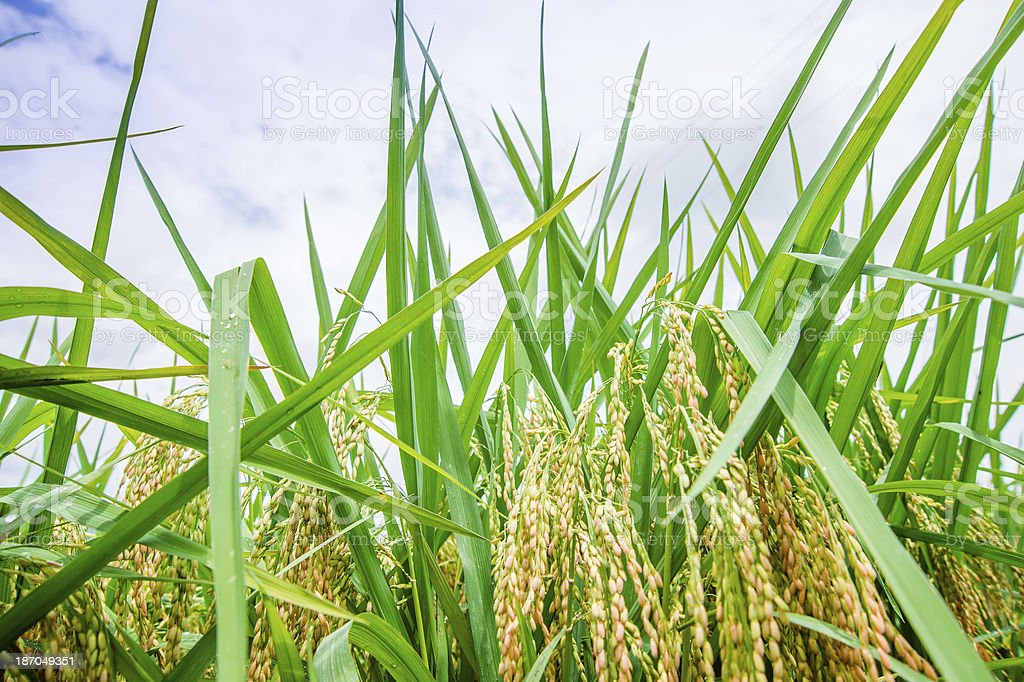 Close-up of Rice Field royalty-free stock photo