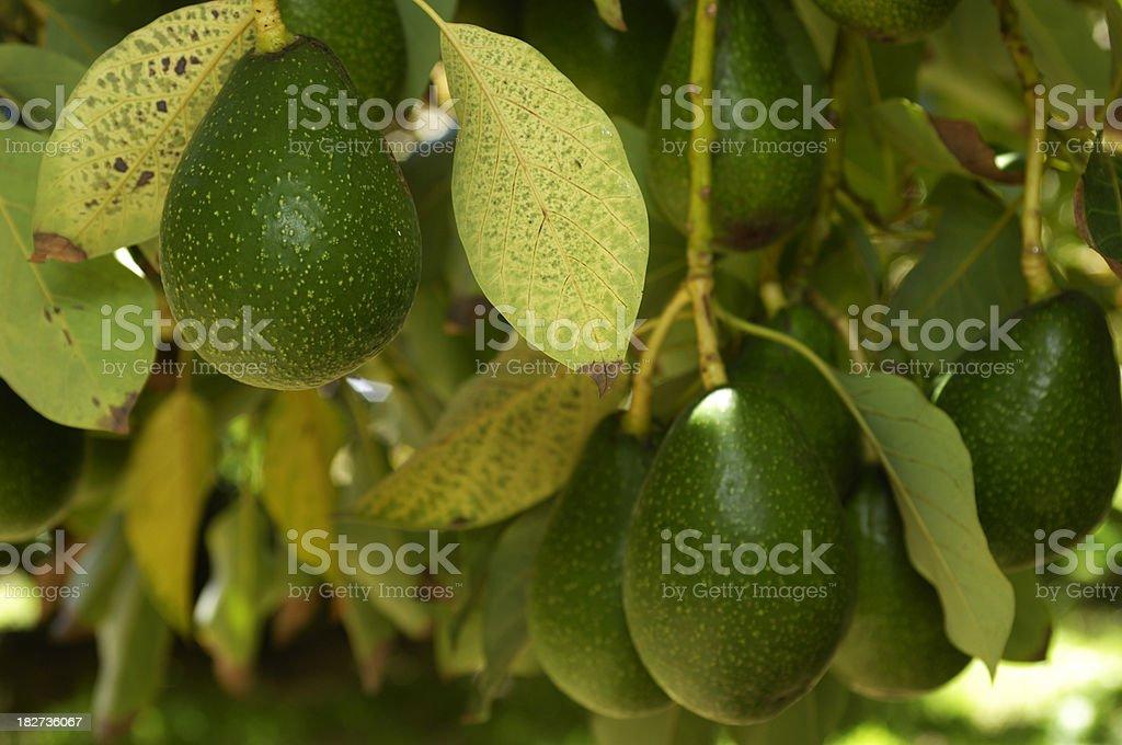 Close-up of Ripe Avacado On Tree stock photo
