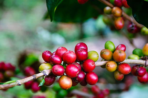 Close-up of Ripe beans on a coffee plant stock photo