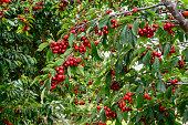 Orchard of ripe Bing Cherries (Prunus avium), ready for harvest.\n\nTaken in Hollister, California, USA