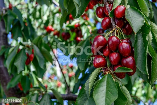 Close-up of ripe bing cherries (Prunus avium) on fruit tree, still a few days away from being  ready for harvest.  Taken in Gilroy, California, USA
