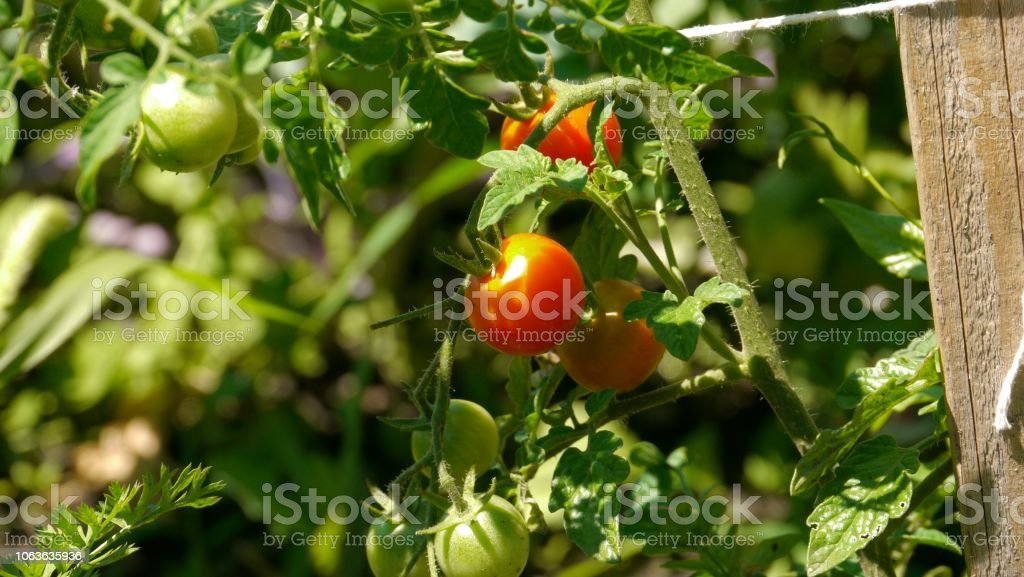 Close-up of ripe cherry tomatoes in a garden stock photo