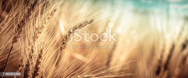 istock Close-up Of Ripe Golden Wheat 1160053165