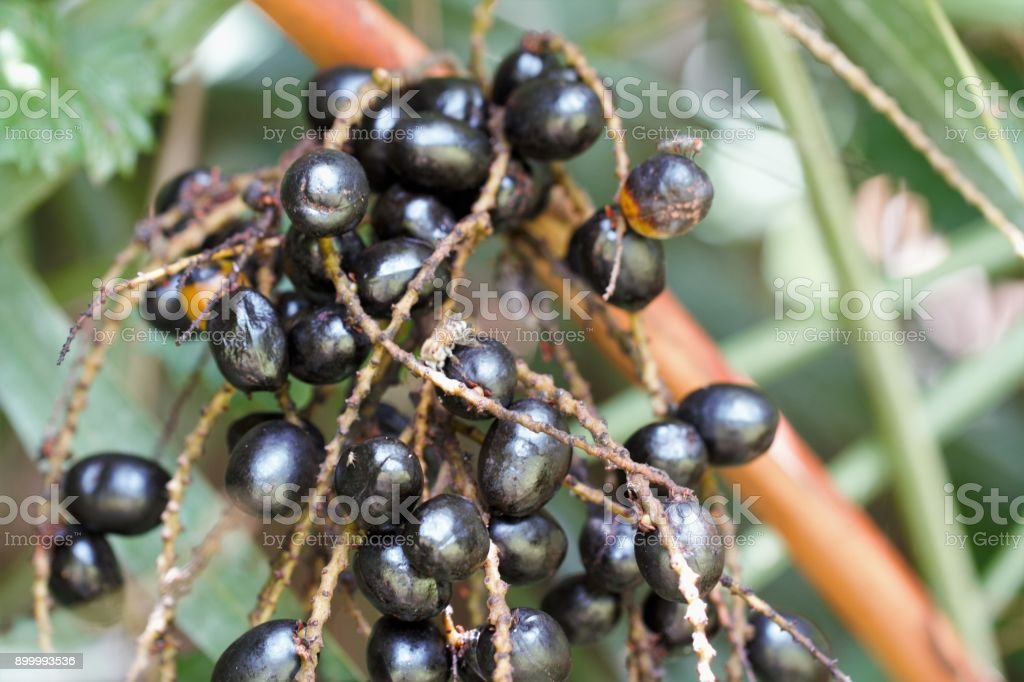 Closeup of ripe saw palmetto berries in tropical environment in south Florida. Alt medicine plant stock photo