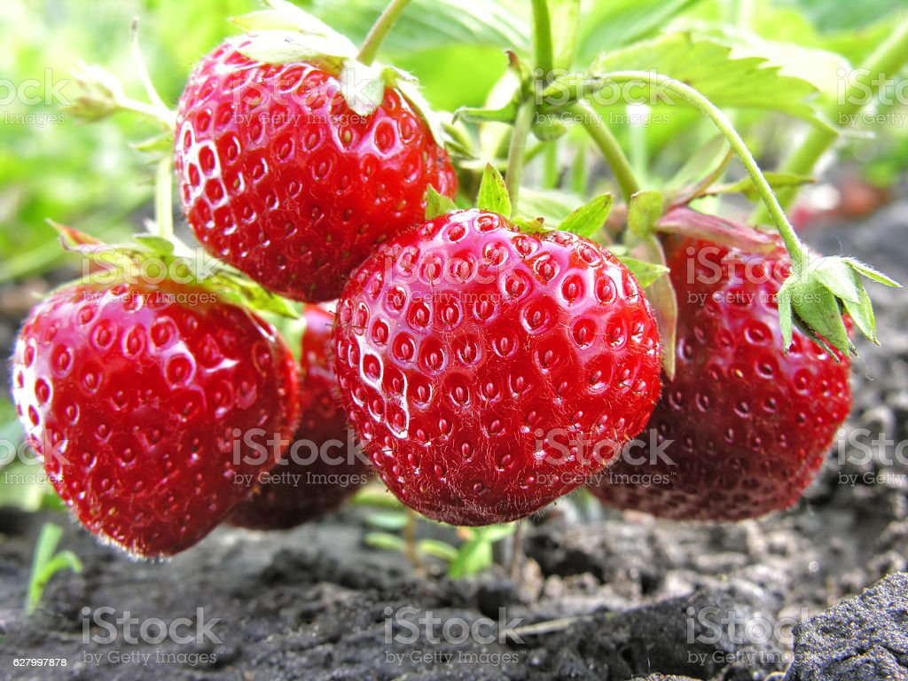 close-up of ripe strawberry stock photo