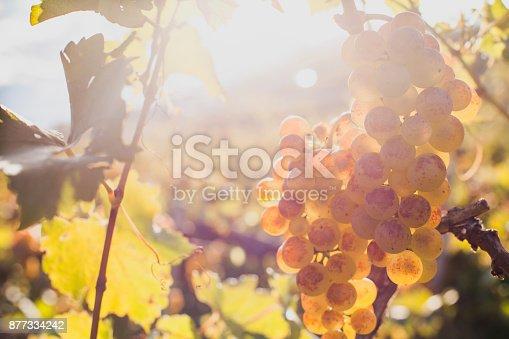 istock closeup of ripe white wine grape on the wine yard 877334242