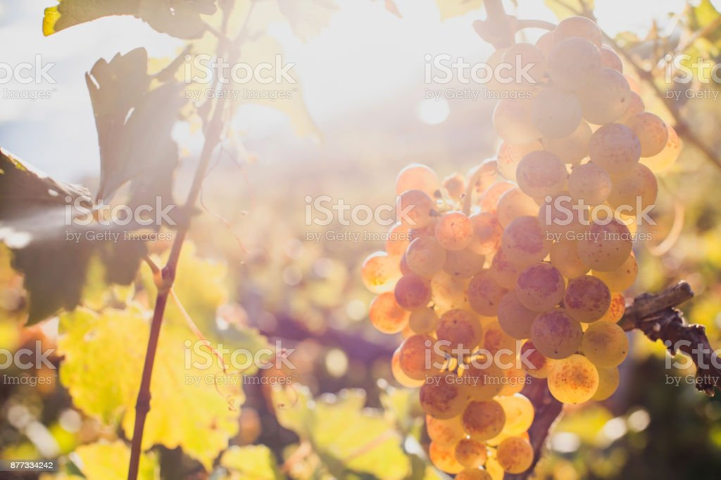 closeup of ripe white wine grape on the wine yard stock photo