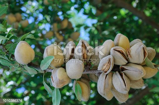 Close-up of ripening immature almond (Prunus dulcis) fruit growing in clusters in one tree within a central California orchard.  Taken in the San Joaquin Valley, California, USA.