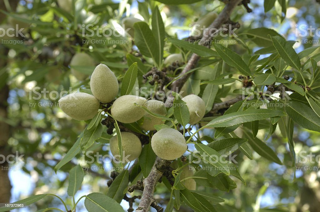 Close-up of Ripening Almonds on Central California Orchard stock photo