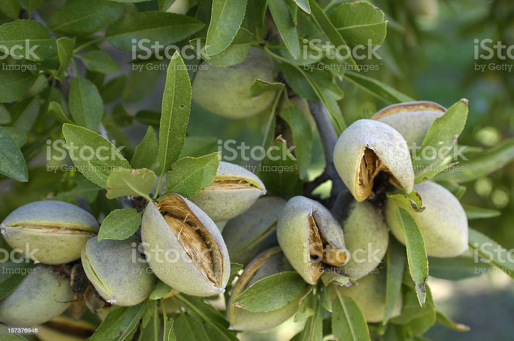 Close-up of Ripening almendras en el centro de California, Orchard - foto de stock