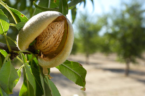 close-up of ripening almonds on central california orchard - almond stock photos and pictures