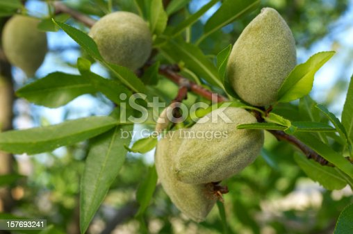 Close-up of ripening almond (Prunus dulcis) fruit growing in clusters in one tree in a central California orchard.