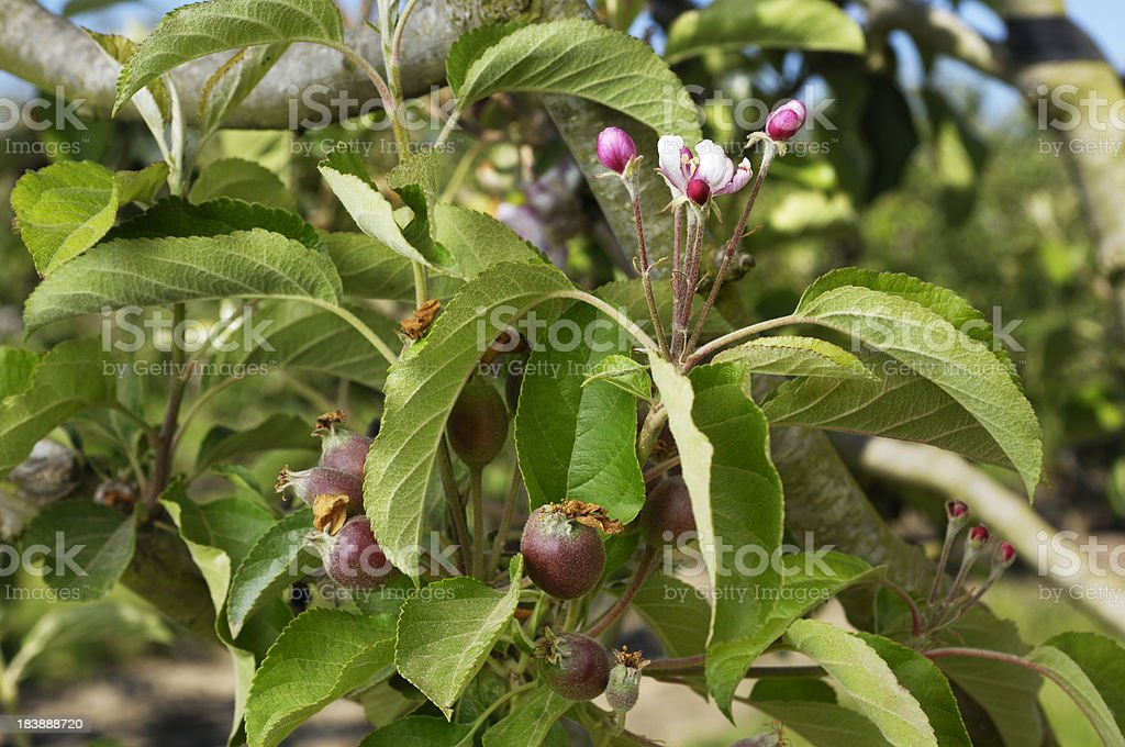 Close-up of Ripening Apples On Tree royalty-free stock photo
