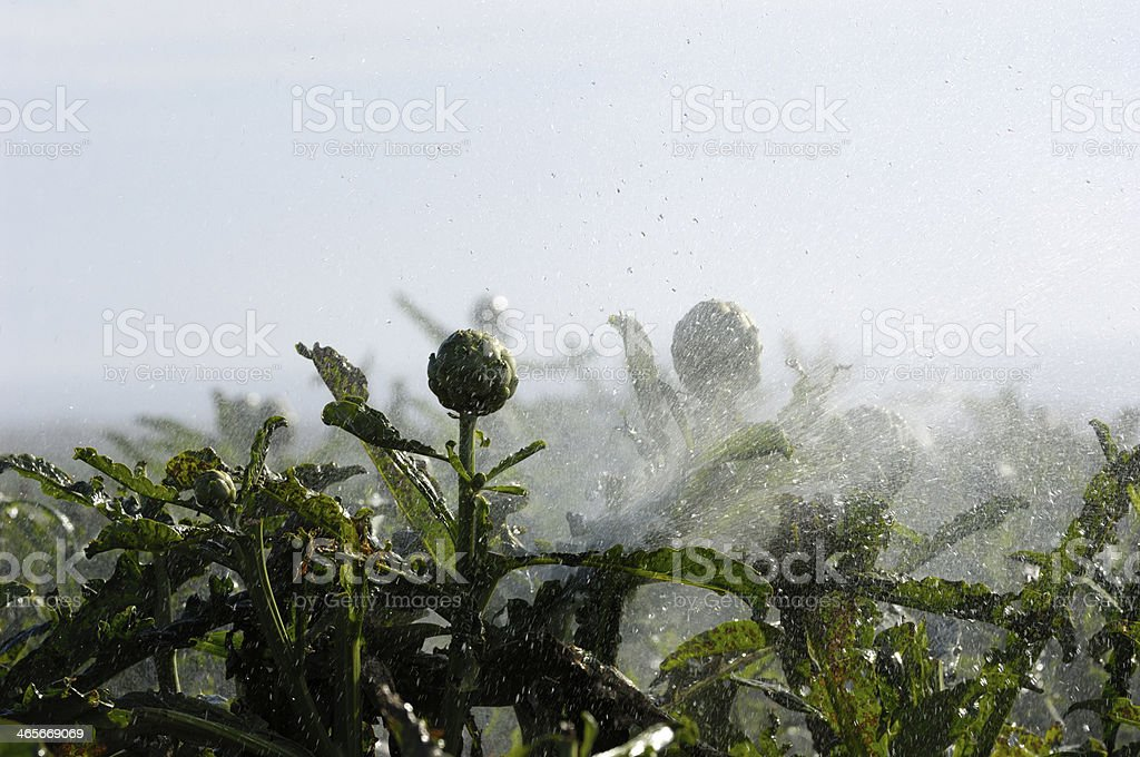 Close-up of Ripening Artichokes Globes Being Watered stock photo