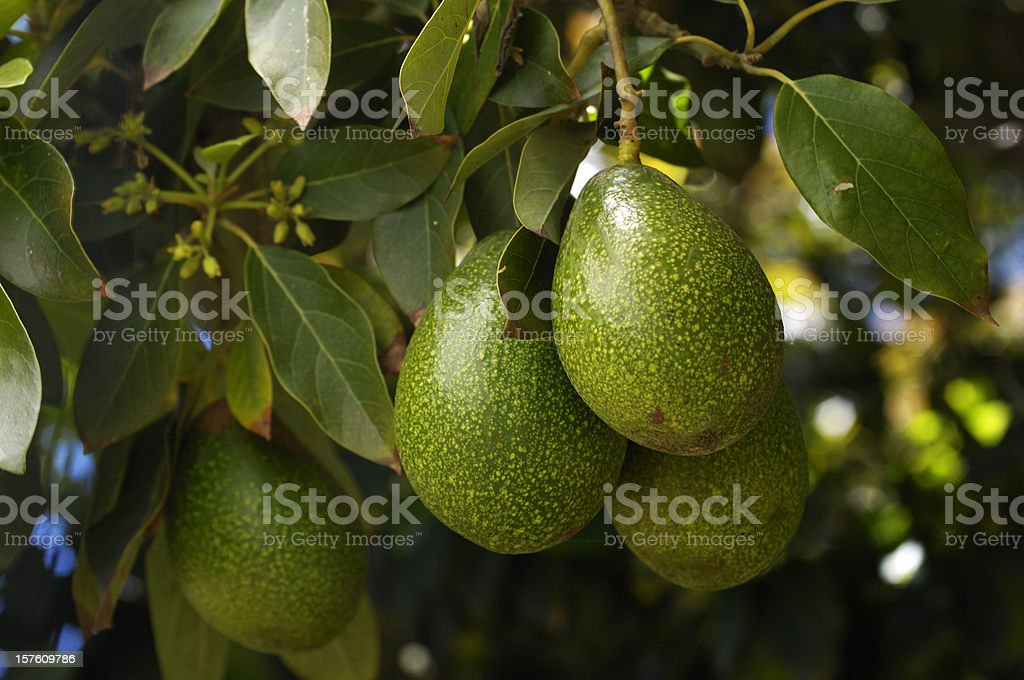 Close-up of Ripening Avacado On Tree stock photo