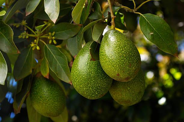 Close-up of Ripening Avacado On Tree stock photo
