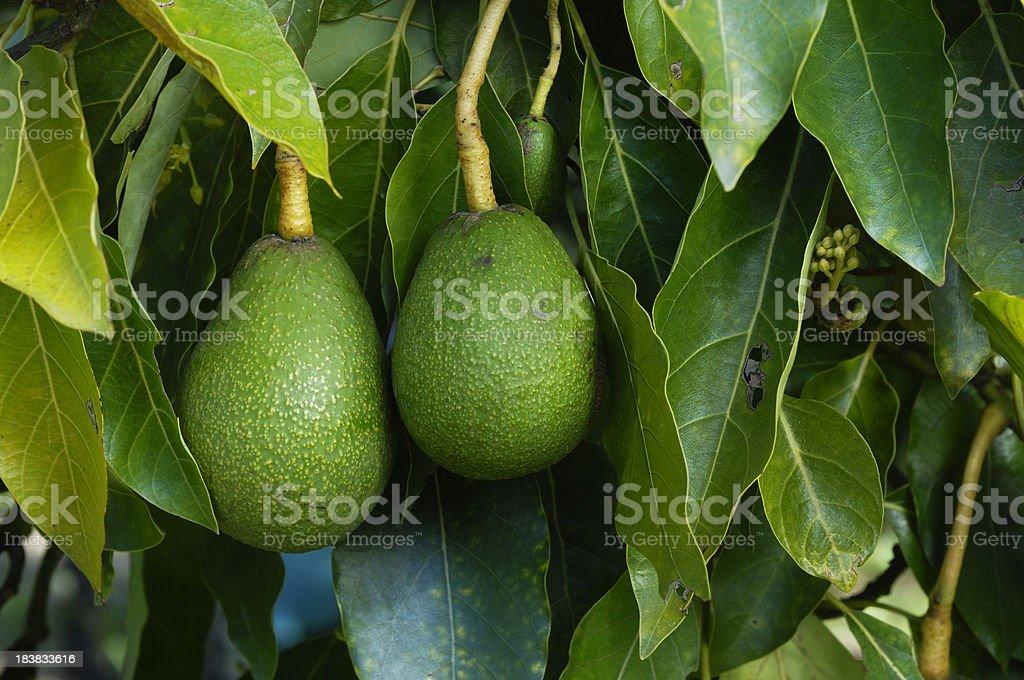 Close-up of Ripening Avacados On Tree stock photo
