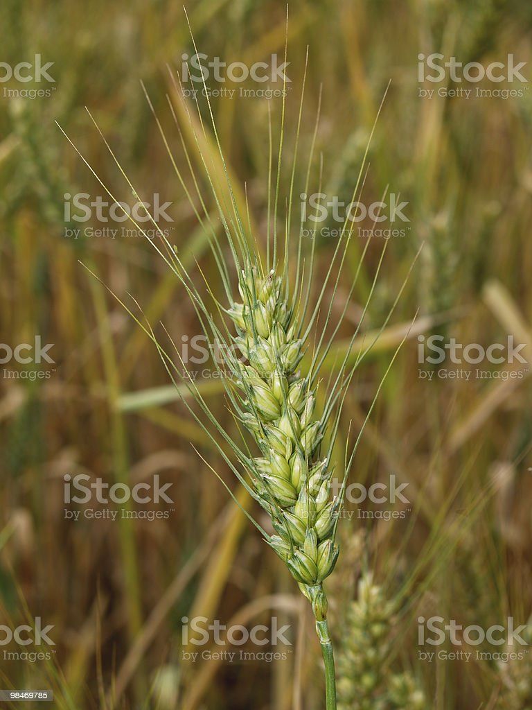 Close-up of Ripening Bearded Wheat royalty-free stock photo