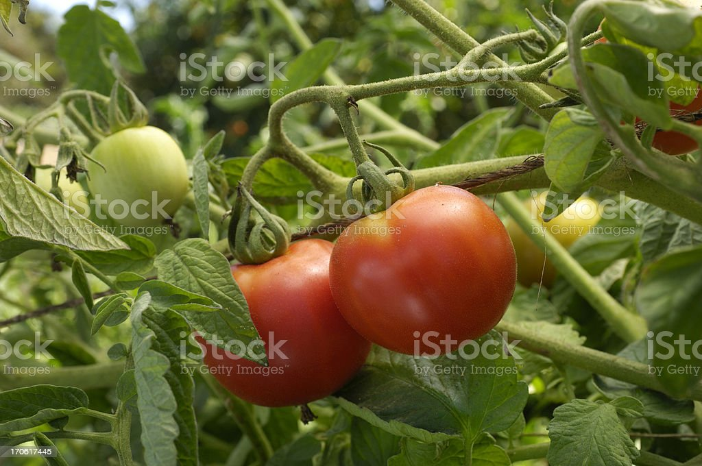 Close-up of Ripening Beefsteak Tomatoes on the Vine royalty-free stock photo