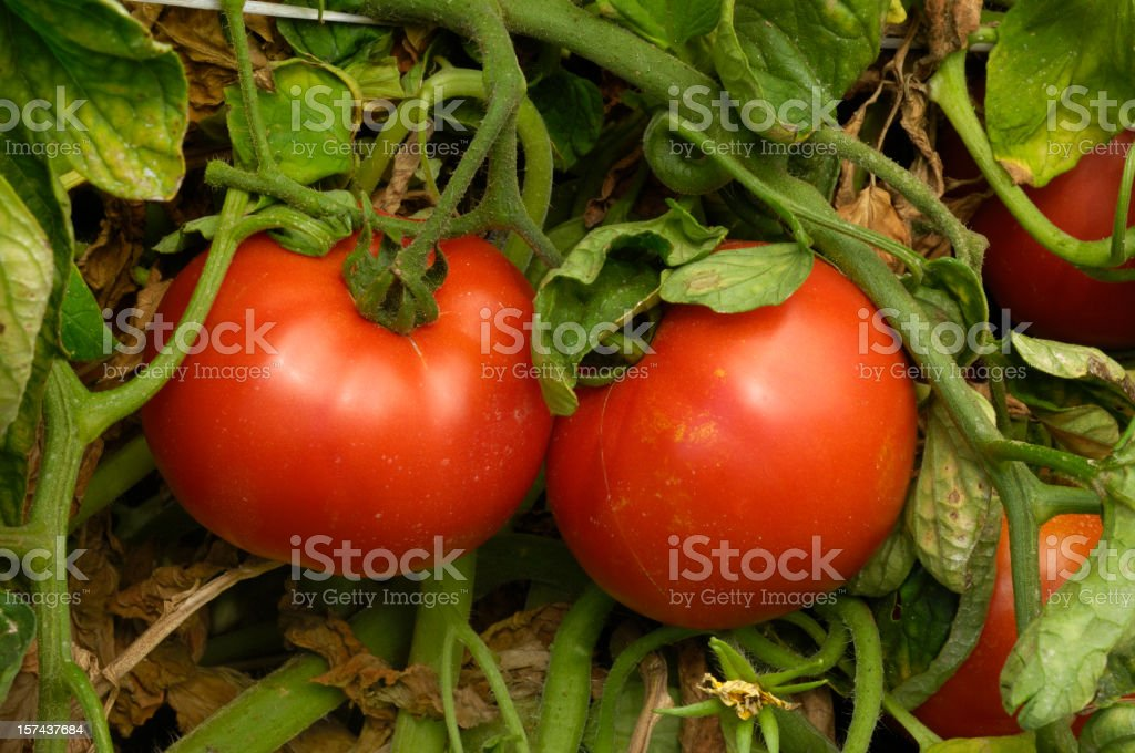 Close-up of Ripening California Tomatoes on the Vine royalty-free stock photo