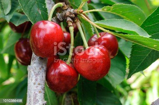 Close-up of ripening bing cherries (Prunus avium) on fruit tree.  Taken in Gilroy, California, USA.