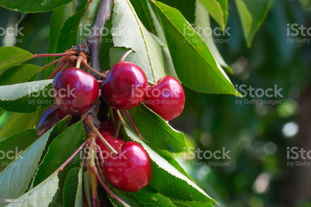 Close-up of Ripening Cherries On Tree stock photo