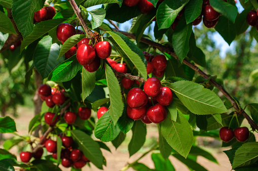 Close-up of Ripening Cherries On Tree