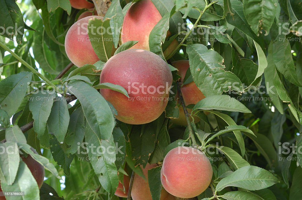Close-up of Ripening Nectarines on Tree royalty-free stock photo