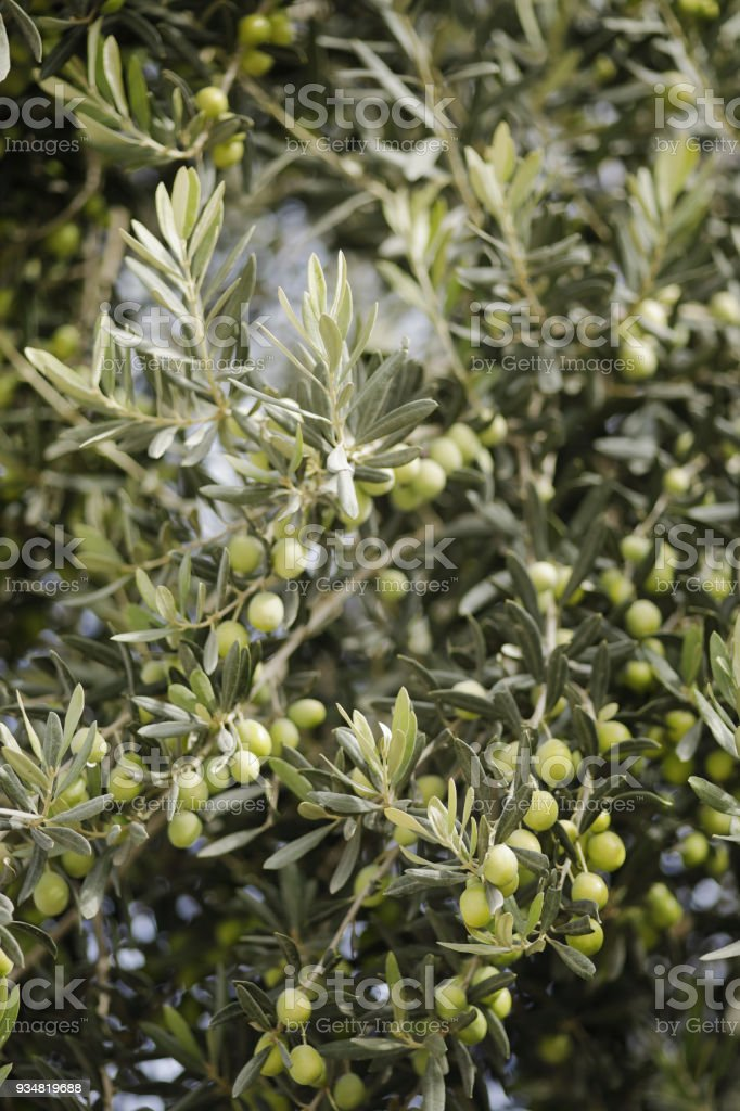 Nahaufnahme von Ripening Oliven auf Baum – Foto