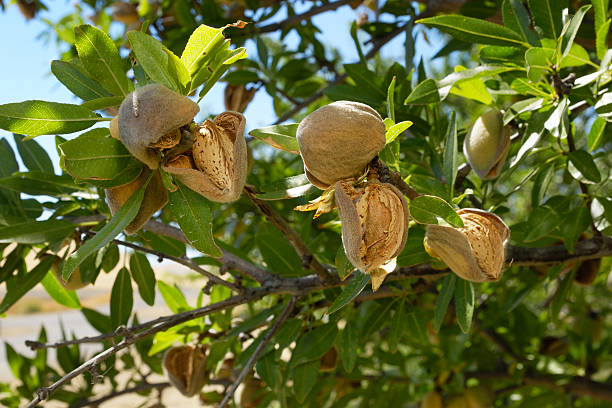 Close-up of Ripening Organic Almonds on Tree stock photo