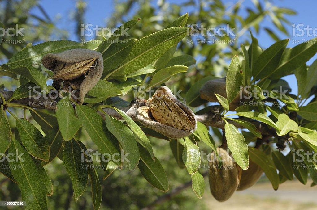 Close-up of Ripening Organic Almonds on Tree stock photo