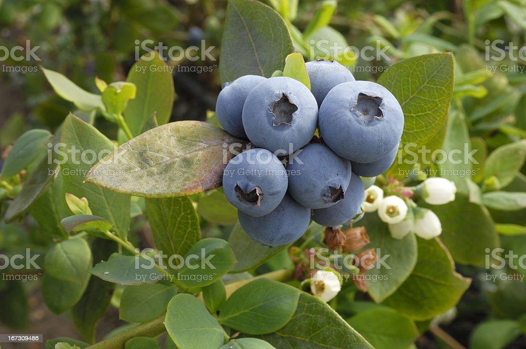 Close-up of Ripening Organic Blueberries on Bush Close-up of ripening organic blueberries on fruit bush. Berry Fruit Stock Photo