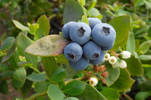 Closeup Of Ripening Organic Blueberries On Bush Stock Photo - Download Image Now