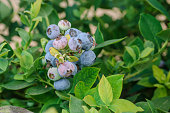 Close-up of ripening organic blueberries on fruit bush.\n\nTaken in Watsonville, California USA