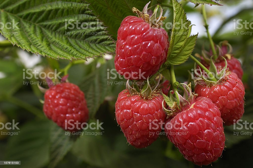 Close-up of Ripening Organic Raspberries on the Vine stock photo