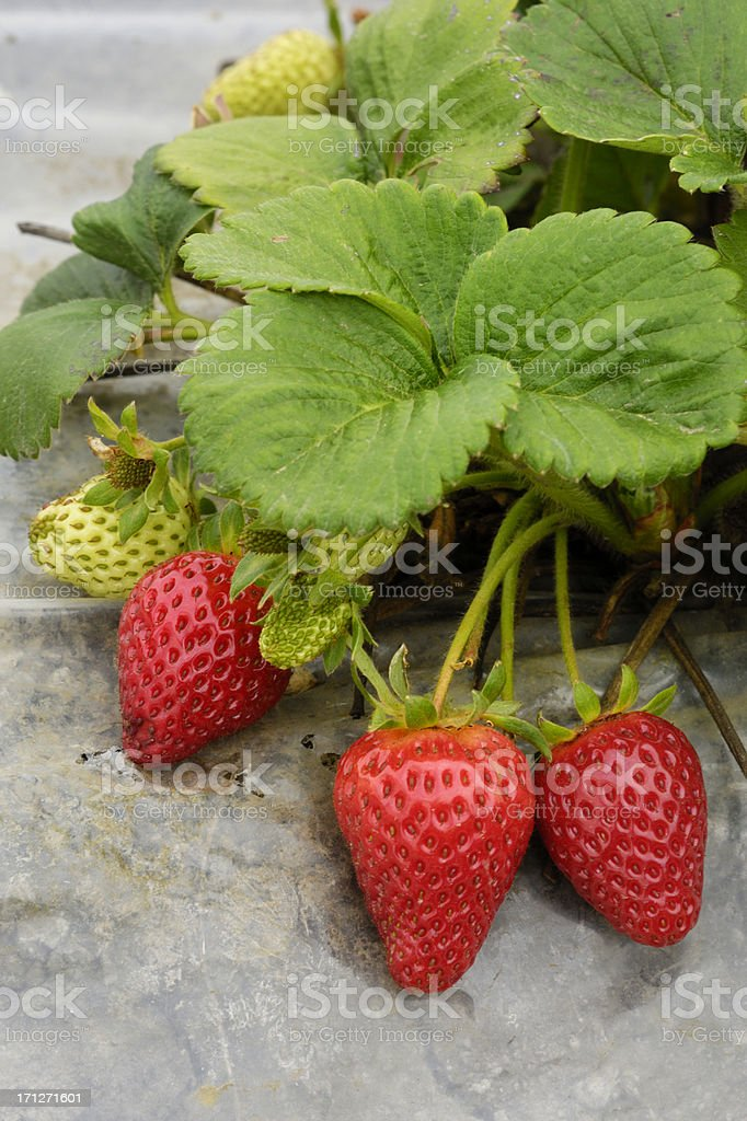 Close-up of Ripening Organic Strawberies on the Vine royalty-free stock photo