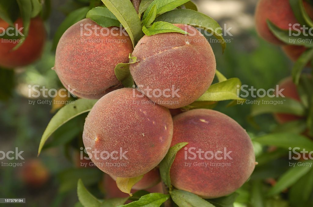 Close-up of Ripening Peaches on Tree royalty-free stock photo